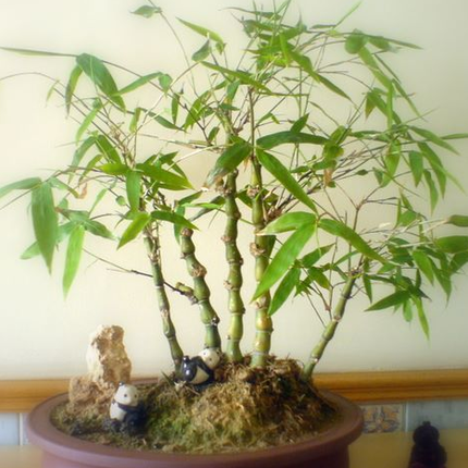 Buy buddha belly bamboo seedlings large indoor potted bonsai concept lohan - Indoor potted flowers ...