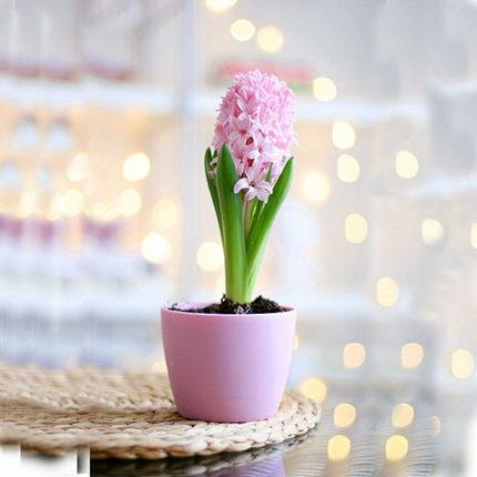 冬季花卉绿植盆栽风信子土培套装拍下5.3元包邮买5送10